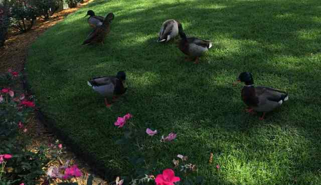 Ducks of the Studios