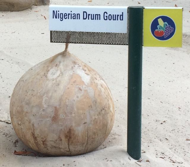 Nigerian Drum Gourd