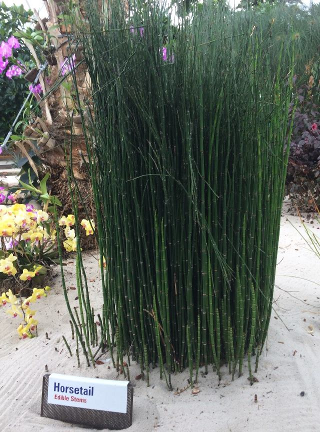 Horsetail, edible stems