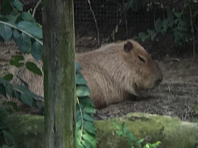 it's a capybara