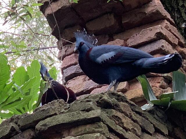 Crowned Pigeon Victoria II